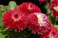 asters-wallpapers-best