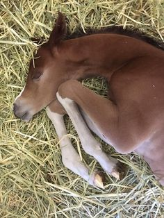 Baby horse asleep on the hay. Precious little foal. (91) Sheila Varian