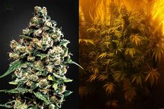 7 Rarest Weed Strains On The Planet https://www.greenrushdaily.com/2017/02/15/7-rarest-weed-strains-planet?utm_source=rss&utm_medium=Friendly+Connect&utm_campaign=RSS @greenrushdaily #Cannabis