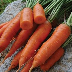 Red Cored Chantenay Carrot - Seed Savers Exchange