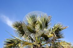 Photo about Palm tree, pedestrian perspective. Image of holiday, coast, horizon - 70321591 Pedestrian, Palm Trees, Perspective, Coast, Sky, Stock Photos, Holiday, Flowers, Plants