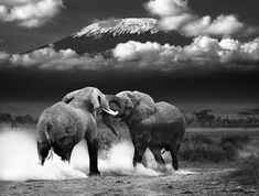 elephants in africa black and white - Google Search