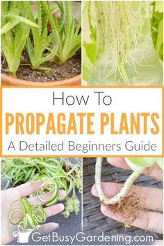 Propagating plants is easier than you think! Learn all about the basics of plant propagation, the tools you will need, and what varieties are easiest to start with. Find step by step instructions for rooting all kinds of cuttings in soil, or dividing the new root growth to reproduce species like aloe or haworthia. Multiply your succulent houseplant collection, or populate new garden beds with baby coleus and begonias. Troubleshoot failing starts, and grow lots of healthy new plants for free. Growing Mint, Growing Seeds, Garden Beds, Garden Care, Gardening For Dummies, Gardening Tools, Container Gardening, Growing Vegetables, Growing Plants