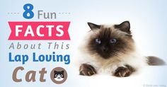 The beautiful and unusual-looking Himalayan cats are a hybrid breed developed by crossing the Persian and Siamese breeds. http://healthypets.mercola.com/sites/healthypets/archive/2015/09/04/cool-facts-about-himalayan-cats.aspx