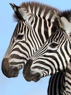 Great Zebra head study