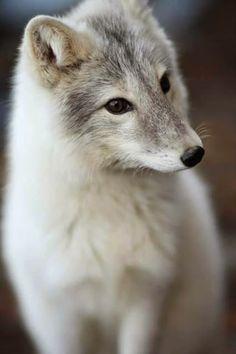 Renard Corsac // Steppenfuchs // Raposa-Das-Estepes // Corsac Fox (Vulpes Corsac) #canidae