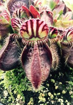 Cephalotus follicularis, carnivorous plant.  #carnivorous #plants ❤️