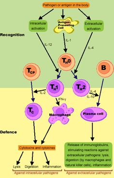 "Hot T-Bone stEAk  Il1- Hot=fever=upregulate acute inflammation  Il2- T= T-cell stimulator  Il3- Bone= bone marrow stimulator (stem cell differentiation)  Il4- stE= IgE stimulator (antibody production)  Il5- Ak= IgA/Allergy/asthma    Early Stimulation Can Cause Trouble  Il6- Early= early immune response  Il7- Stimulation= ""S"" for stem cell differentiation  Il8- Can= ""c"" for chemotaxis of neutrophils  Il10- Cause= ""c"" for cytokine production  Il12- Trouble= ""t""= T cell differentiation"