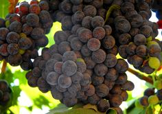 grapes by Samuel Johnson on 500px