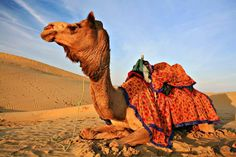 Did you know that Abu Dhabi hosts beauty pageants for Camels?