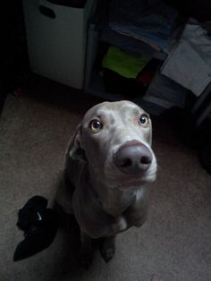 "The look. The caption: ""I get this face every morning when I have to leave for class. I die a little inside."" This looks like my Weim that I have had before named Gracie"
