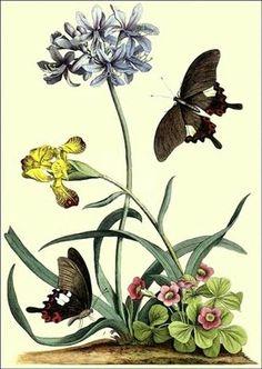 An 18th century botanical print.