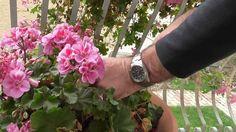 Muskátli teleltetése Garden, Youtube, Plant, Garten, Gardens, Tuin, Yard