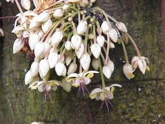 Cocoa (Theobroma cacao) seeds - Two and two make five