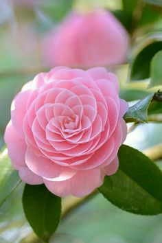 830 Best Camellia Images In 2020 Camellia Plants Flowers