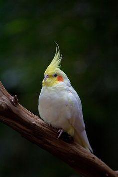 La cacatúa ninfa, cocotilla o carolina (Nymphicus hollandicus) Hay una amplia variedad de colores y combinaciones de estos en las ninfas.