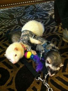 Ferrets aww they look like Remi and Ruger!