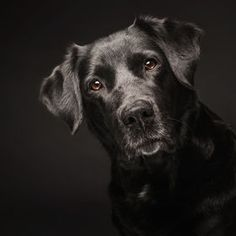 Photo Black lab on black by Elke Vogelsang on 500px