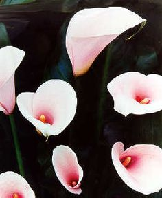 Calla Lily 'Pink Mist' - a beautifully smooth white flower with 'baby girl' pink overlay and a darker pink eye; looks delicate but is very strong! Zones 7-10.