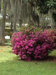 Azaleas--tons in my front yard.