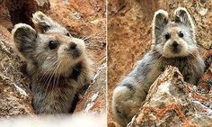 China's lli pika could be the cutest endangered animal in the world | Sooo freaking cute