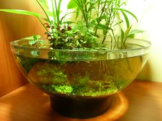 Terrarium or Aquarium? Planted Aquarium, Aquarium Terrarium, Water Terrarium, Aquarium Design, Indoor Water Garden, Indoor Plants, Water Gardens, Aquascaping, Bonsai