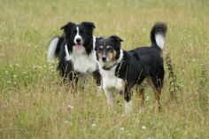 Sardeaux: Like an autumn Bordercollies Taavi and Veera