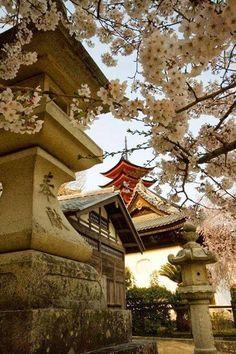 Flores de cerejeira, Hiroshima, Japão.                                                                                                                                                      Mais