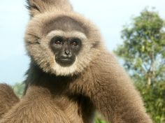 Javan Gibbon, Hylobates moloch, EN, Indonesia. Recently moved from critically endangered list to endangered list