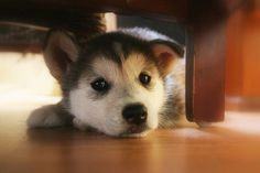 Husky puppy. Will have one just like him one day. LOVE