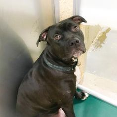 Othello is an adoptable Pit Bull Terrier searching for a forever family near…