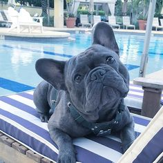 """My face when I ask for a Pawgarita, and they ask for my ID"", poor Balou Blu, the French Bulldog"