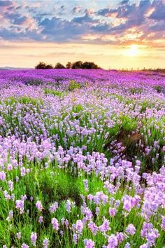 Beautiful Landscapes, Beautiful Gardens, Beautiful Landscape Photography, Sea Flowers, Purple Flowers, Nature Pictures, Belle Photo, Amazing Nature, Pretty Pictures