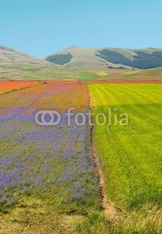 Fiordalisi e papaveri sui campi di lenticchie a Castelluccio di Norcia (Umbria, Italy) - Cornflowers and poppies in the fields of lentils  © Pietro D'Antonio