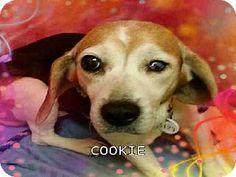 Upper Marlboro, MD - Beagle. Meet COOKIE a Dog for Adoption.