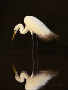 Great Egret in Lagoon, Pantanal, Brazil Photographic Print by Frans Lanting at AllPosters.com