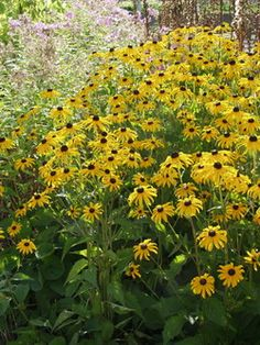 Rudbeckia fulgida 'Goldsturm' Sädepäivänhattu Wonderful Flowers, Perennials, Gardening, Traditional, Modern, Plants, Beautiful, Color, Ideas