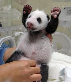 Panda-Yoga — Zoo staff stimulate newly born panda cub at the zoo in Taipei. The public will have to wait three months to catch a glimpse of the first panda born in Taiwan, officials said in July, after she was successfully delivered by parents who were gifted from China. (Taipei City Zoo/AFP/Getty Images
