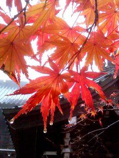 Mt.Takao 高尾山 Japanese Culture, Japanese Art, Japanese Maple, Jewel Colors, Colours, Autumn Leaves, Red Leaves, Wakayama, Beautiful Sites