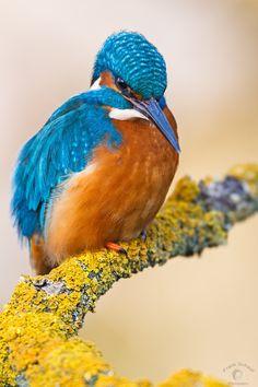 Kingfisher - ©Frank Schauf (via 500px)