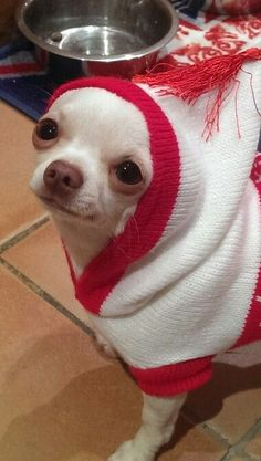 Join jamie on facebook Jamie a little white chihuahua