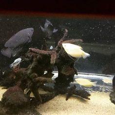 【ssalvinii】さんのInstagramをピンしています。 《#動物  #アクアリウム #熱帯魚 #aquarium #animal  #freshwater fish》
