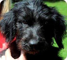 Monkey Wallpaper, Wakefield, Labradoodle, Rhode Island, Pet Adoption, Creatures, Meet, Puppies, Dogs