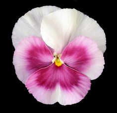 Gorgeous Pansy close-up.                                                       …