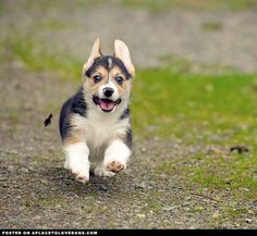 Cute Corgi Pup • dog dogs puppy puppies cute doggy doggies adorable funny fun silly photography