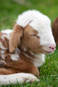 ...someday when I live on my farm full time, I'm gonna have a cute lil goat like this one!!