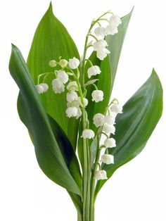 "Lily of the valley. COLORS: white and pale pink (rare)   SEASON: year-around   SCENT: very fragrant perfume   COST: $$$   MEANING: sweetness, ""return of happiness"". #jardinfd #weddingflowers #flowers"
