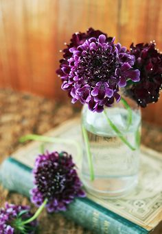Scabiosa #deep #purple #flowers