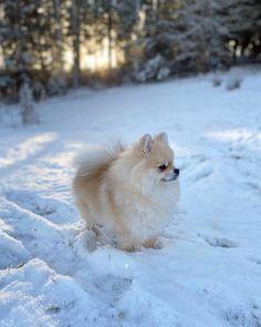 Pom Pom Puppies, Pom Dog, Super Cute Animals, Cute Little Animals, Cute Dogs And Puppies, Baby Puppies, Cute Dog Pictures, Dog Photos, Animals And Pets