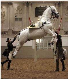 It takes years to train these horses; they start training around 8 years old (I have heard).  The used these acrobatics in battle to kick and avoid the enemy.  The Spanish Riding School, Vienna.